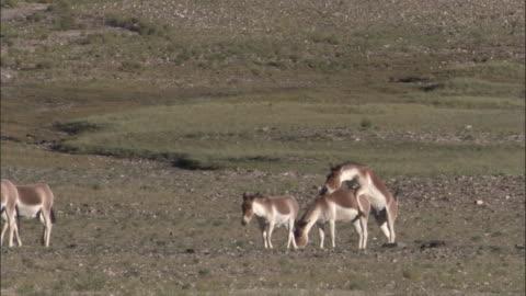vídeos y material grabado en eventos de stock de kiang stallion mates with female on plateau, ladakh, india - grupo mediano de animales