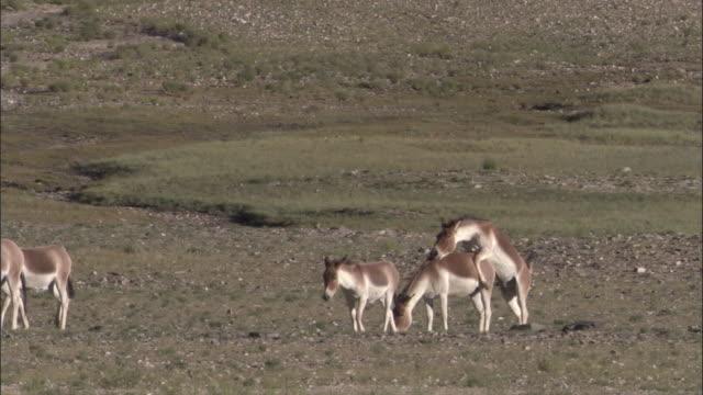 kiang stallion mates with female on plateau, ladakh, india - medium group of animals stock videos & royalty-free footage