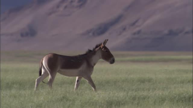 kiang stallion on plateau, ladakh, india - stallion stock videos & royalty-free footage