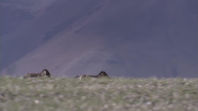 kiang stallions chase on plateau, ladakh, india - medium group of animals stock videos & royalty-free footage