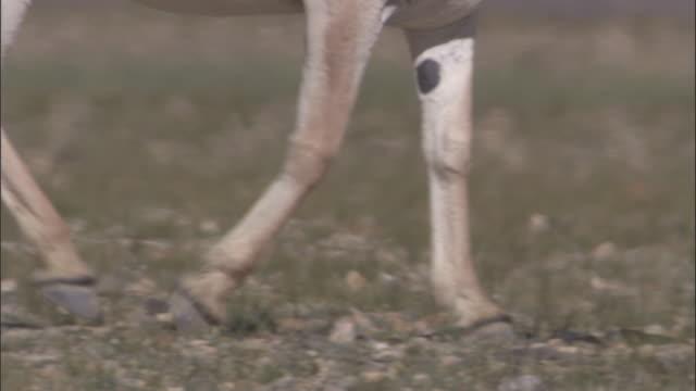 kiang walks in heat haze, ladakh, india - 10秒或更長 個影片檔及 b 捲影像
