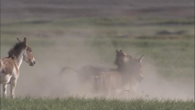 vídeos y material grabado en eventos de stock de kiangs bite and fight on dusty plateau, ladakh, india - grupo mediano de animales