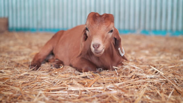 Kid goat chewing hay