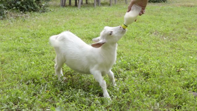 Kid goat drinking milk