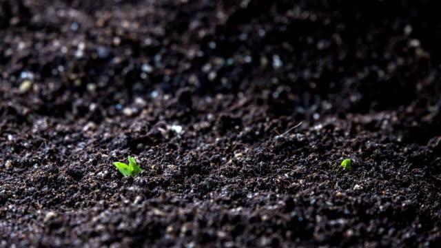 vídeos de stock e filmes b-roll de kidney bean seeds growing in soil - germinação