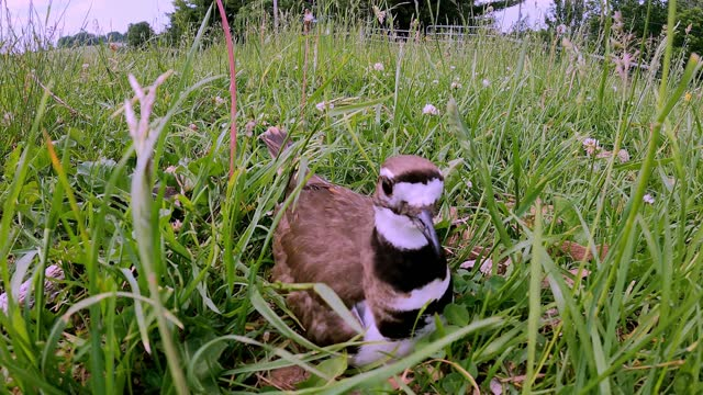 killdeer are known for their striking plumage and near perfect camouflage. a beautiful bird, slightly larger than an american robin, it is a delight... - take that stock videos & royalty-free footage