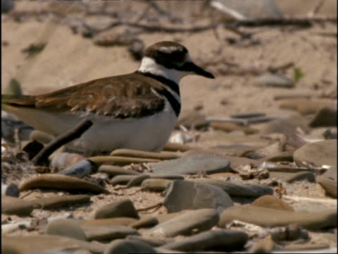 CU Killdeer Plover settling on nest amongst pebbles, USA