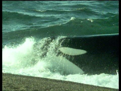 vídeos y material grabado en eventos de stock de killer whale attacks seal on shore, takes seal into sea and thrashes it around - cetáceo