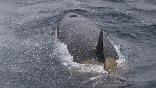 Killer Whale, close-up, surfacing in slow-motion