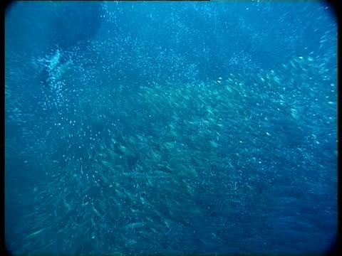 MS, PAN, Killer Whale diving behind school of fish swimming in ocean, Atlantic Ocean, Norway