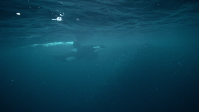 killer whale herds herring into bait ball, norway - bait ball stock videos & royalty-free footage