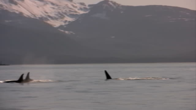Killer Whale In High Definition HD & Saved At Highest Quality.