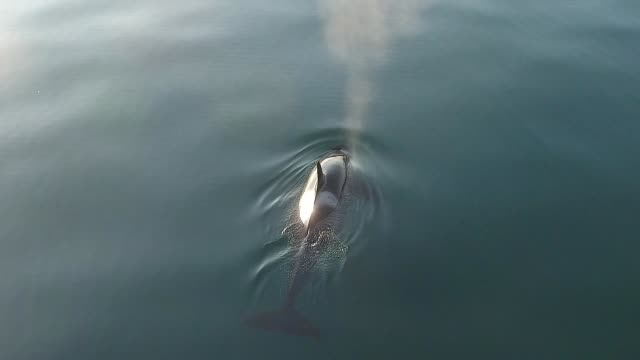 killer whale (orcinus orca) kuril islands - minke whale stock videos & royalty-free footage