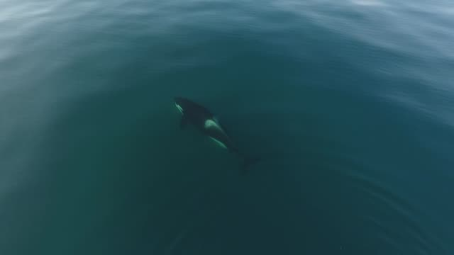 killer whale (orcinus orca) kuril islands - killer whale stock videos & royalty-free footage