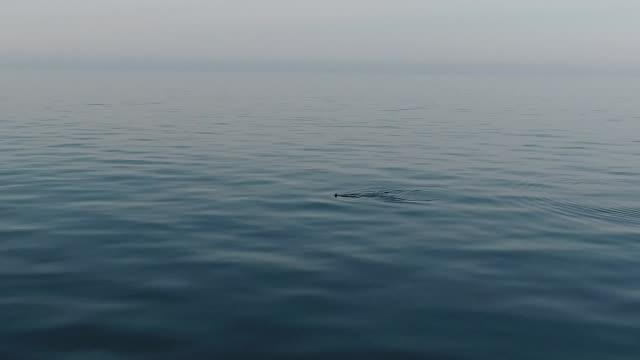 シャチ (しゃちほこ) 千島列島 - 潮流点の映像素材/bロール