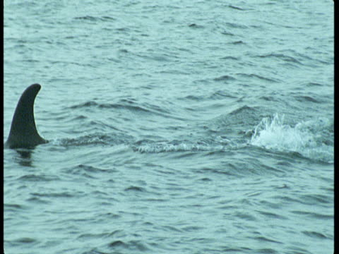 a killer whale lobtails as it porpoises in choppy water near norway. - lobtailing stock videos & royalty-free footage