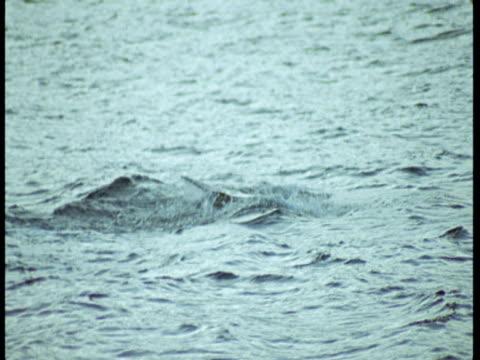 A killer whale lobtails its fluke in choppy water near Norway.