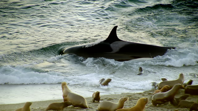 ms killer whale lunges at seals playing in surf and then turning back out to sea / patagonia, argentina - argentina stock videos & royalty-free footage