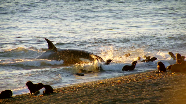 ms pan killer whale lunges crashing into seals playing in surf after scattering rest seal / patagonia, argentina - seal stamp stock videos and b-roll footage