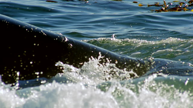 vídeos de stock, filmes e b-roll de cu slo mo killer whale lunging and catching seal playing in surf / patagonia, argentina - formato de alta definição