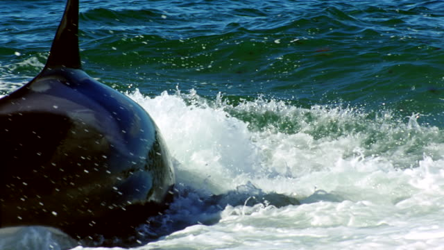 cu slo mo killer whale lunging and catching seal playing in surf / patagonia, argentina - argentina stock videos & royalty-free footage