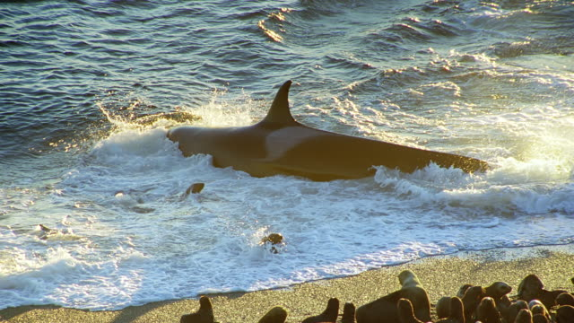 ms killer whale lunging at seals playing in surf then turning back out to sea at sunset / patagonia, argentina - seal animal stock videos and b-roll footage