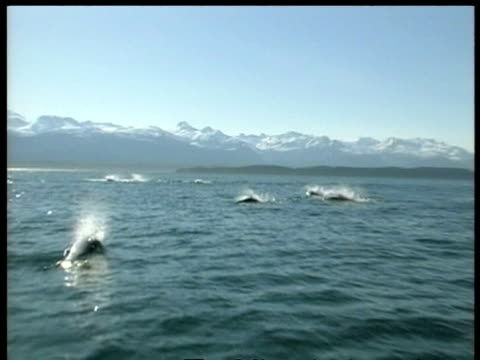 MS Killer whale, Orcinus orca, hunting porpoises, mountains in background, Arctic Circle