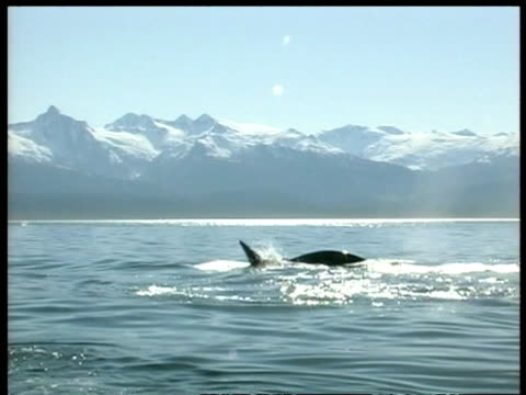 MS Killer whale, Orcinus orca, hunting porpoises, snow covered mountains in background, Arctic Circle