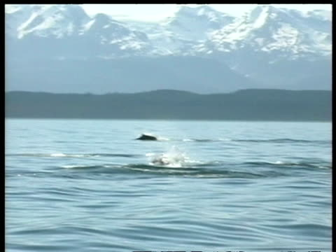 MS Killer whale, Orcinus orca, hunting porpoises, snow covered mountains in background, edited sequence, Arctic Circle