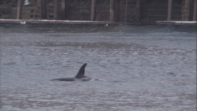 a killer whale pod swims past a harbour in alaska. available in hd. - cetaceo video stock e b–roll