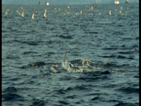 stockvideo's en b-roll-footage met a killer whale porpoises in the arctic ocean. - rugvin