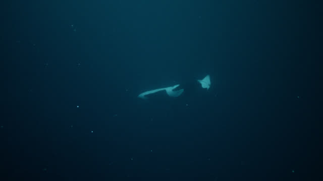 killer whale slaps tail into herring prey, norway - lobtailing stock videos & royalty-free footage