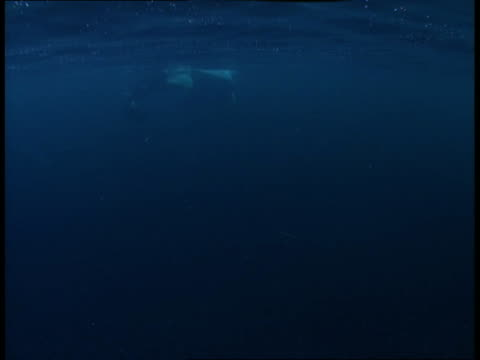 A killer whale surfaces and dives.