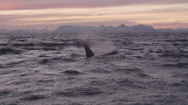 killer whale surfaces and spouts in sea, norway - rückenflosse stock-videos und b-roll-filmmaterial