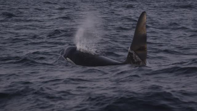 killer whale surfaces and spouts in sea, norway - espirare video stock e b–roll