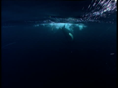 A killer whale surfaces, creating a plume of bubbles.