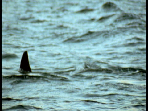 a killer whale surfaces in the arctic ocean. - rückenflosse stock-videos und b-roll-filmmaterial