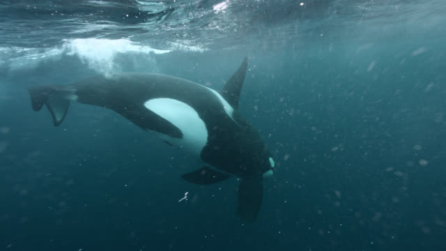 killer whale surfaces, norway - surfacing stock videos & royalty-free footage
