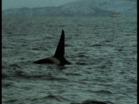 a killer whale surfaces off the mountainous coast of norway. - rückenflosse stock-videos und b-roll-filmmaterial