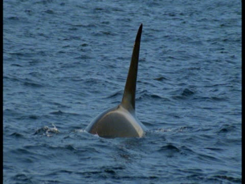 stockvideo's en b-roll-footage met a killer whale surfaces. - rugvin