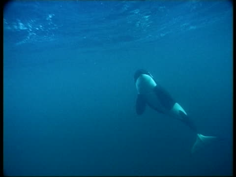 MS, Killer Whale swimming in ocean, Atlantic Ocean, Norway
