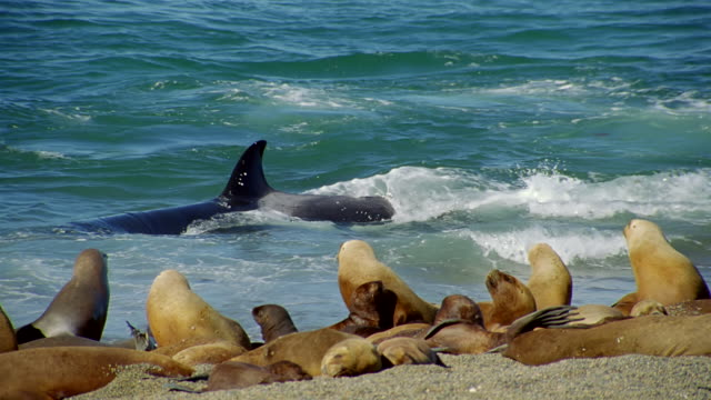 ms killer whale swimming near beach with seal at beach / patagonia, argentina - seal stamp stock videos and b-roll footage