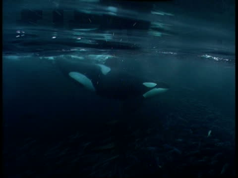 A killer whale swims above a massive school of herring.