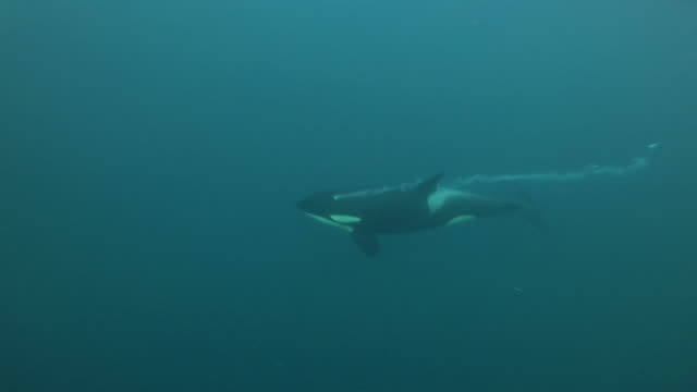 killer whale swims by exhaling with a trail of bubbles and vocalizing, kvaenangen fjord area, northern norway. - シャチ点の映像素材/bロール