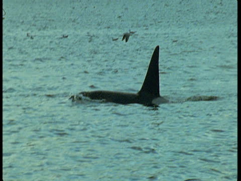a killer whale swims in the atlantic ocean. - rückenflosse stock-videos und b-roll-filmmaterial