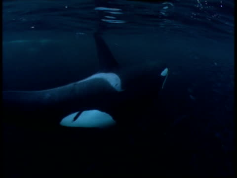 stockvideo's en b-roll-footage met a killer whale swims through a massive school of fish and surfaces, then dives. - orka