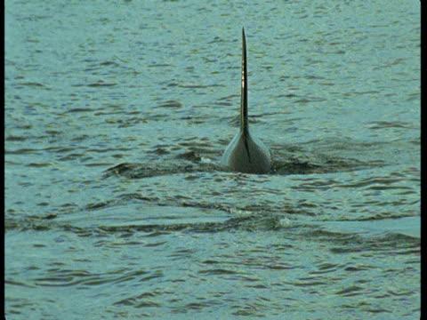 stockvideo's en b-roll-footage met a killer whale swims through the atlantic ocean. - rugvin