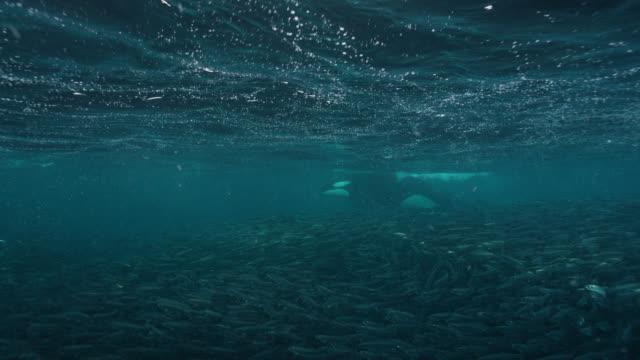 killer whales blow bubbles to herd herring, norway - tiere bei der jagd stock-videos und b-roll-filmmaterial