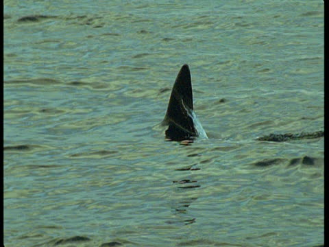a killer whale's dorsal fin pokes out of the ocean as it surfaces. - rückenflosse stock-videos und b-roll-filmmaterial