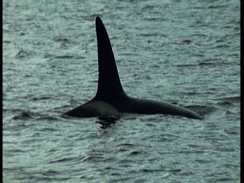 a killer whale's dorsal fin submerges beneath choppy water near norway. - dorsal fin stock videos and b-roll footage